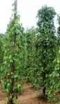 vietnam-island-phuquoc-tieu-so-lalot-piper-sarmentosum